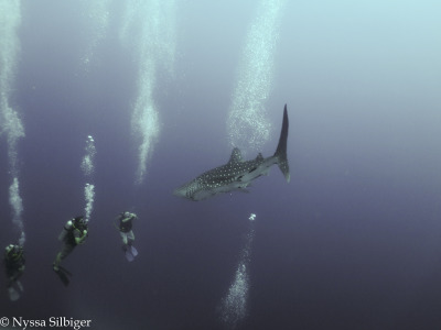 Whale Shark at Tubbataha